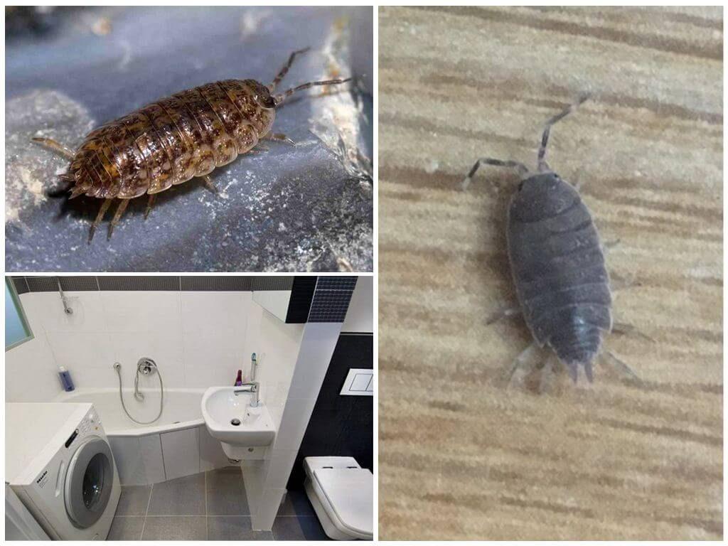 Мокрицы в квартире: места обитания, профилактика, способы избавления